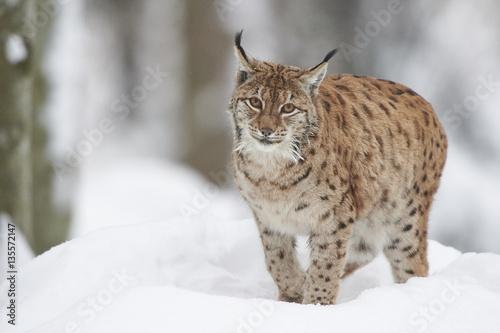 Fotobehang Lynx Ein eurasischer Luchs im Schnee