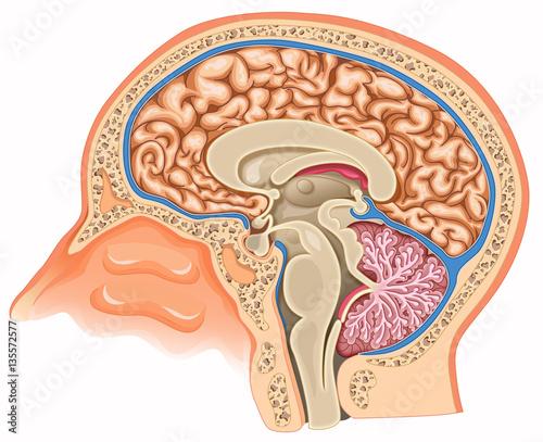 Photo  Human brain anatomy