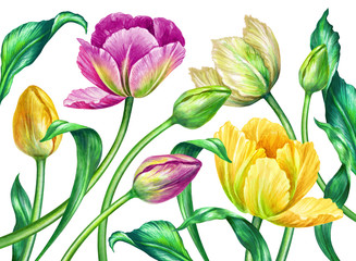Fototapeta Tulipany watercolor tulips, botanical illustration, isolated on white background