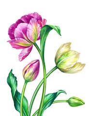 Panel Szklany Tulipany watercolor tulips, botanical illustration, isolated on white background