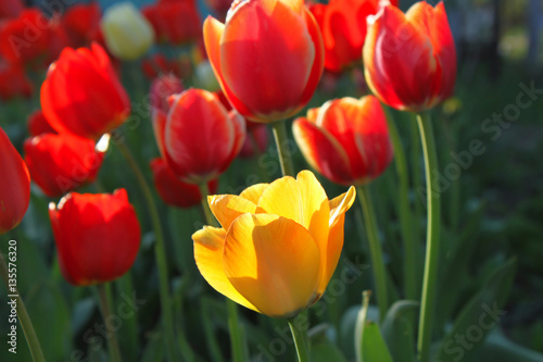 Foto op Canvas Baksteen Beautiful bright red and yellow tulips