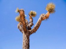 Joshua Tree Surrounded By Clear Blue Sky, Joshua Tree National Park, California