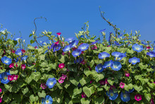 Blue Morning Glory Flowers Climbing On The Wall With Blue Sky Background