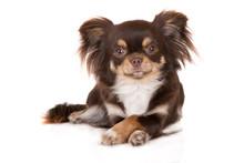 Funny Chihuahua Dog Lying Down...