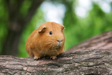 Brown Guinea Pig Posing Outdoors
