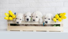 Four Golden Retriever Puppies With Yellow Tulips