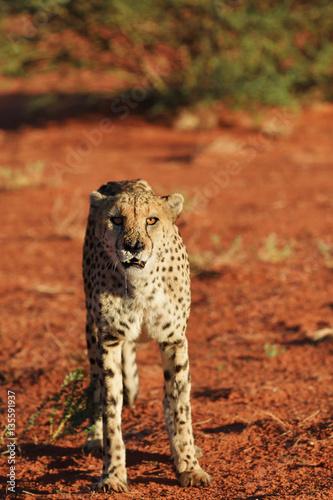 Staande foto Afrika Africa. Namibia. Cheetah