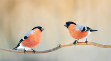 A Pair Of Birds Bullfinches With Red Feathers Sitting On A Branch In Winter Park