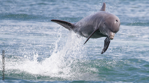 Dauphin Bottlenose Dolphin jumping