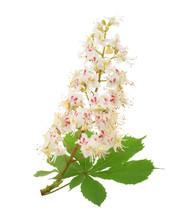 Horse-chestnut (Aesculus Hippocastanum, Conker Tree) Flowers Iso