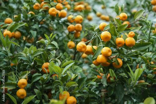 Fotografie, Obraz  Mandarinen am Baum