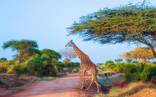 Giraffe In  East Tsavo Park In Kenya