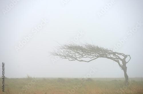 Windblown tree Fototapet