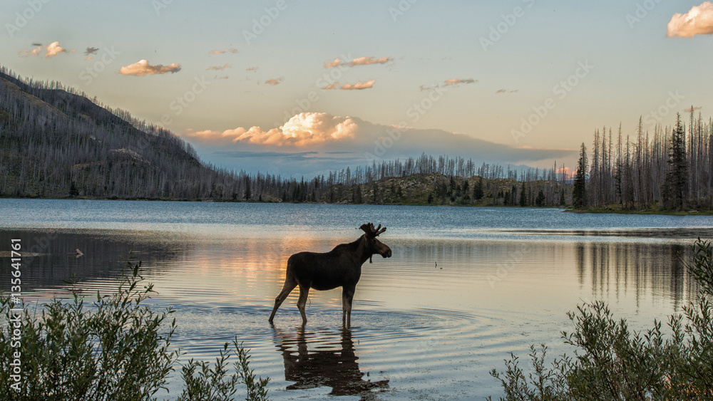 Fototapeta Moose standing in Montana mountain lake at dusk