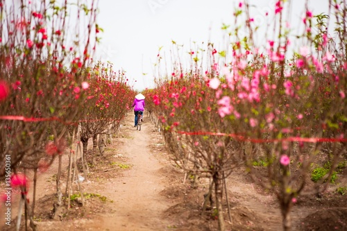 peach flowers blossom and bicycle in Spring