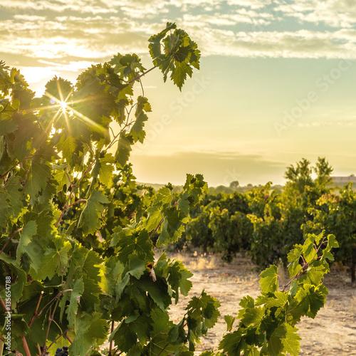 Papiers peints Vignoble Photo of sun rising above vineyard
