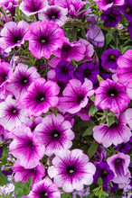 Colorful Petunia Plants In Full Bloom