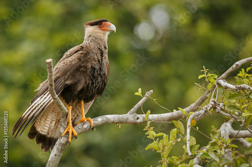 Fotografia  bird of pantanal in the nature habitat, wild brasil, brasilian wildlife, pantana