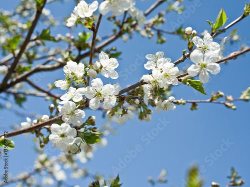 Blooming cherry tree twig.