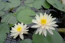 White Lotus In Queen Sirikit Botanic Garden