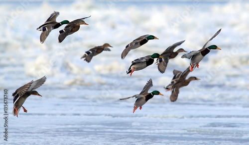 Photo  Flock of Mallard Ducks (Anas platyrhynchos) flying
