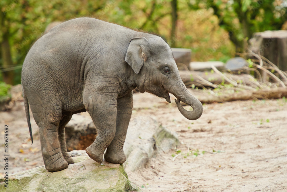 Stampe Young asian elephant