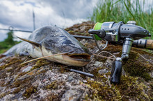 Catfish Caught While Fishing Spinning Rod.