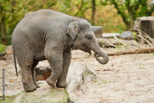 Fotografia  Young asian elephant