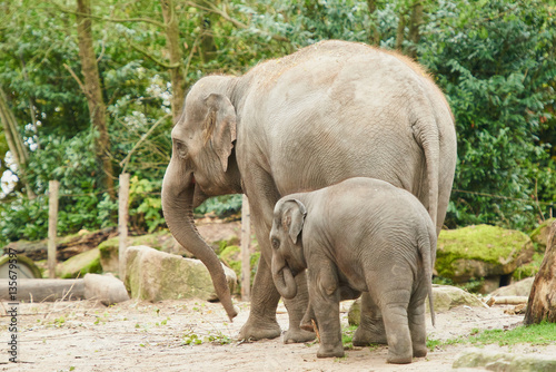 Stampe Young asian elephant.