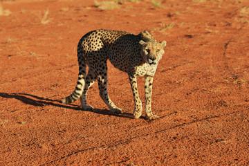 Fototapeta na wymiar Africa. Namibia. Cheetah
