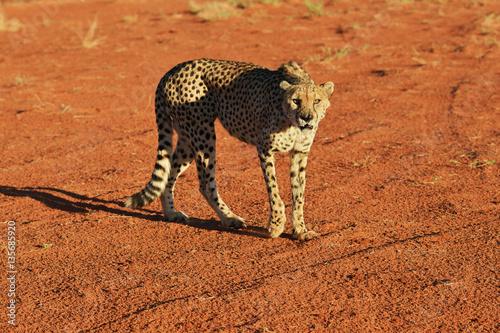 Obrazy na płótnie Canvas Africa. Namibia. Cheetah