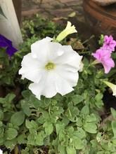 Petunia Axillaris Or Large White Petunia Or Wild White Petunia Or White Moon Petunia Or Easy Wave White Petunia Flower.