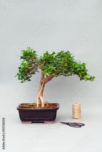 Foto op Aluminium Bonsai Bonsai tree in a ceramic pot on a plain gray background.