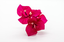 Red Bougainvillea Flower Isolated On White Background.