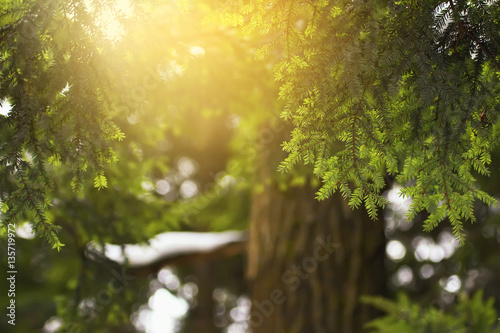 Fényképezés  evergreen coniferous tree hemlock colorful natural background in backlit
