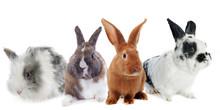 Group Of Rabbit
