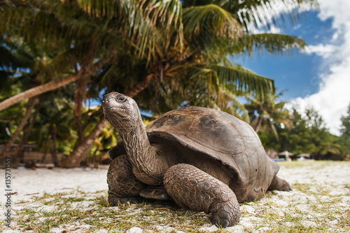 Photo sur Toile Tortue Seychelles. Giant tortoise on Curieuse Island