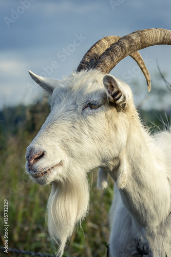 The portrait of white male goat close up on the field. - Buy this ...