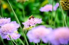 A Bee Enjoys A Pincushion Flower.