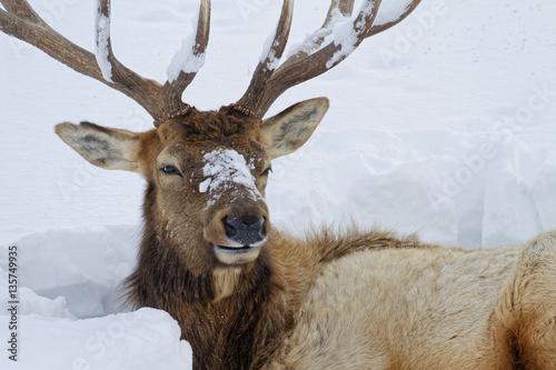 Aluminium Prints Deer Tête et bois d'un imposant wapiti mâle
