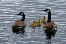 Canada Geese Family Swimming I...