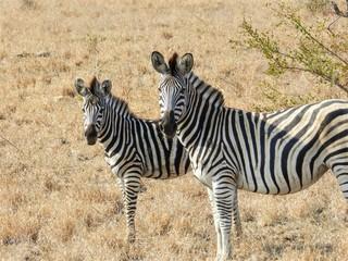 Fototapeta na wymiar Adolescent and adult zebra in the wild