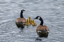 Canada Geese Family Swimming In Pond