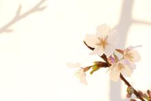 Japanese Cherry Blossom On White