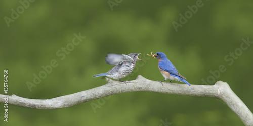 Fotografie, Obraz  Male Eastern Bluebird Feeding Fledgling