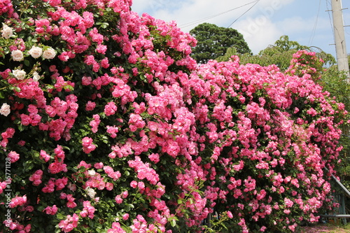Staande foto Candy roze ピンクのバラの壁(山形県)