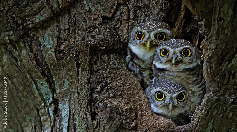 Fototapety, obrazy: Bird, Owl, Three Spotted owlet (Athene brama) in tree hollow,Bird of Thailand