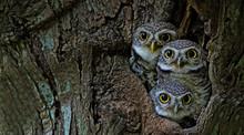 Bird, Owl, Three Spotted Owlet...