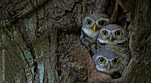 Deurstickers Uil Bird, Owl, Three Spotted owlet (Athene brama) in tree hollow,Bird of Thailand
