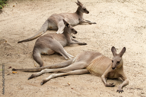 Photo  three kangaroos lying resting sandy soil